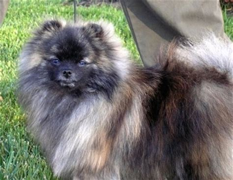 why were pomeranians bred how do you feel about quot designer breeds quot page 5 german shepherd forums