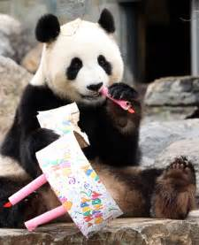 adelaide panda funi celebrates first australian birthday zimbio