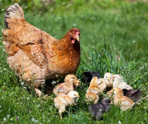 backyard ducks and chickens choosing the right duck breeds and chicken breeds for you animals grit magazine