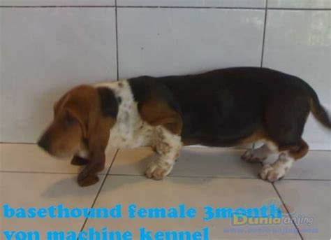 Jual Hound dunia anjing jual anjing basset hound basethound huskepuppies quality best price