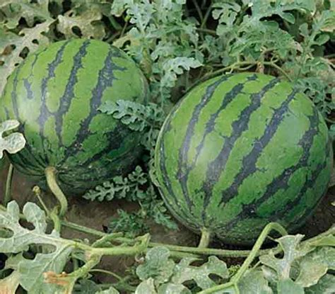 How To Plant Watermelon In A Garden by Week 14 Watermelons And More Roots And Shoots Farm