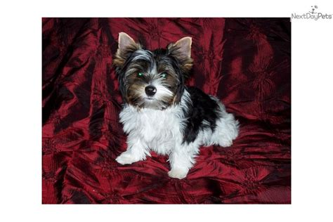 teacup yorkie puppies for sale in kansas terrier yorkie puppy for sale near wichita kansas bed4a9cc f031