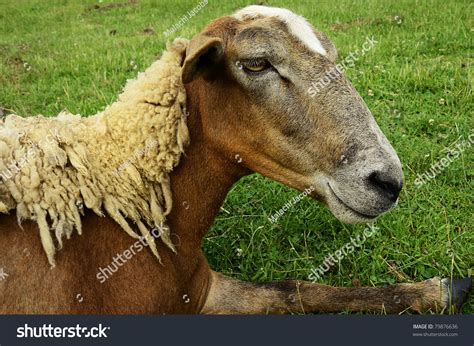 Shedding Sheep Breeds by Shedding Hair Sheep On Family Farm Webster County West