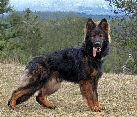 german shepherd puppies dallas haired german shepherd puppies dallas tx dogs in our photo