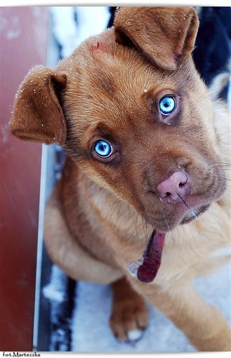 blue eyed puppy 25 best ideas about blue eyed on future doge breed and