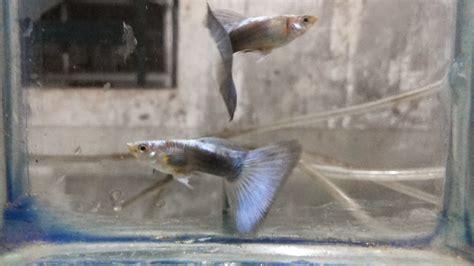 Jual Guppy Half Black Kaskus jual guppy half black blue hb blue hewan indonesia dan