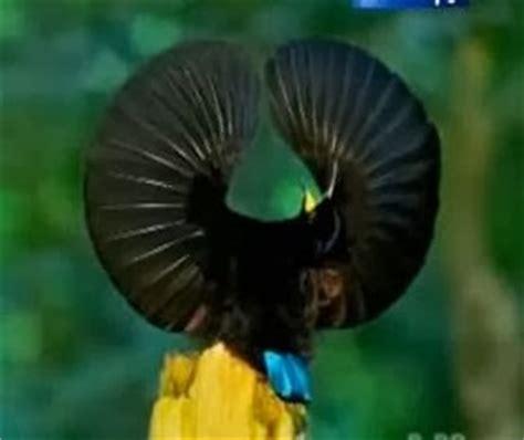 Bulu Mata Blue Eyelash Warna Biru Kode C 18 burung cendrawasih keindahan yang menakjubkan code lab