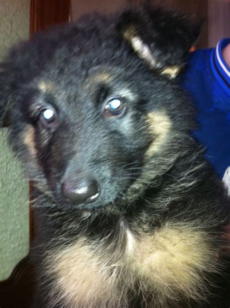 haired german shepherd puppies for sale haired german shepherd puppies for sale southton hshire pets4homes