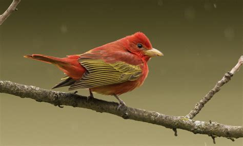 summer tanager birds of north america online