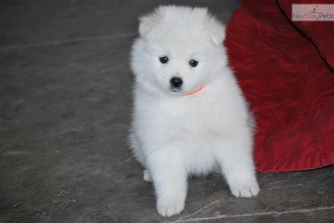 american eskimo puppy for sale american eskimo for sale picture and images