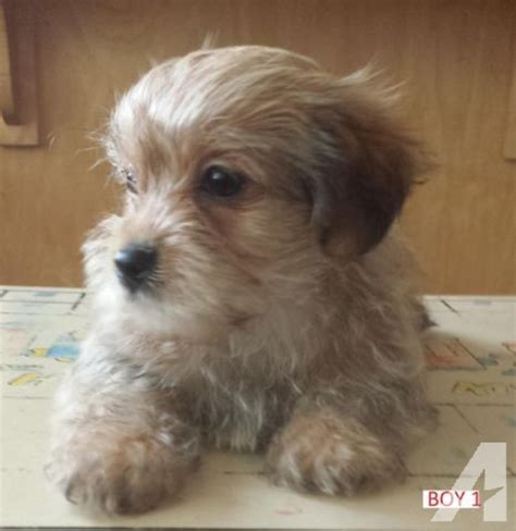 terrier mix puppies for adoption adopt a or puppy hm