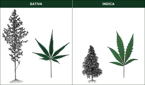 which is better or indica cannabis 101 vs indica what s the difference