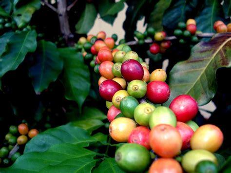 Main Families of Coffee Bean Plants
