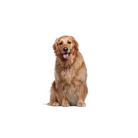 golden retriever breeders san antonio golden retriever puppies petland san antonio