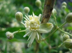 i fiori di bach sono efficaci i fiori di bach per il bambino svogliato e senza energia
