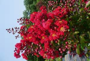 nothing beats crape myrtles for summer color blue ribbon