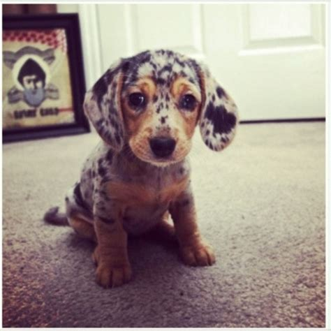 spotted puppies spotted dachshund puppy