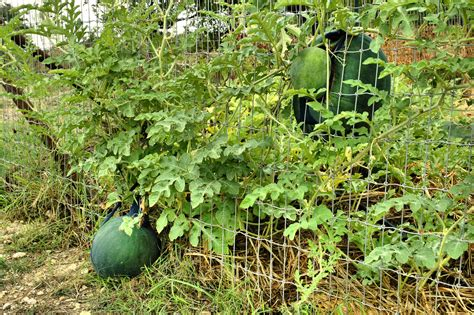 How To Plant Watermelon In A Garden by Supporting Watermelon Plants How To Grow Watermelons On