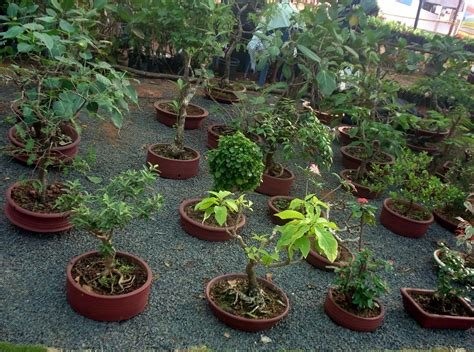 triyae com backyard bonsai trees various design