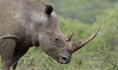 Vietnamese poachers caught with 90lb of rhino horn in ...