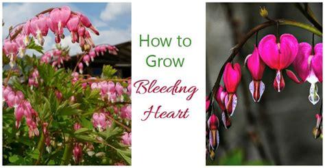 bleeding heart   grow dicentra spectabilis
