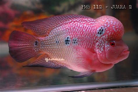 Pakan Ikan Hias Louhan flowerhorn the hybrid cichlids tata cara pemberian pakan