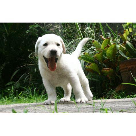 Sho Anak Anjing Sho Puppy labrador jual anak anjing artikel anjing adopsi anjing