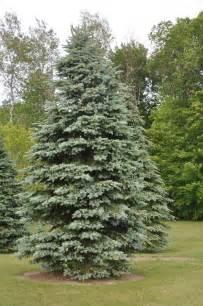 colorado blue spruce treemendous