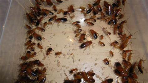 scarafaggi volanti in casa rione carmine invasione di blatte in una casa nella notte