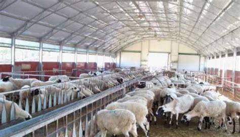 imp organik koyun bizim isimiz satilik tek yada toplu
