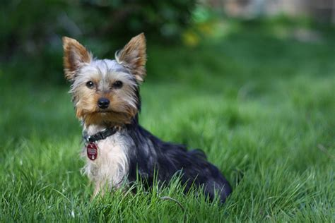 average lifespan of a yorkie breed profile terrier petful