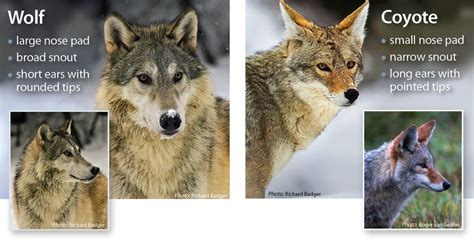 difference between wolves and dogs wolf identification western wildlife outreach