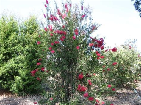 narrow flowering shrubs ame callistemon eureka origin description upright