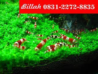aquascape jogja murah sahabat ikan wa 62 831 2272 8835 rumput sintetis