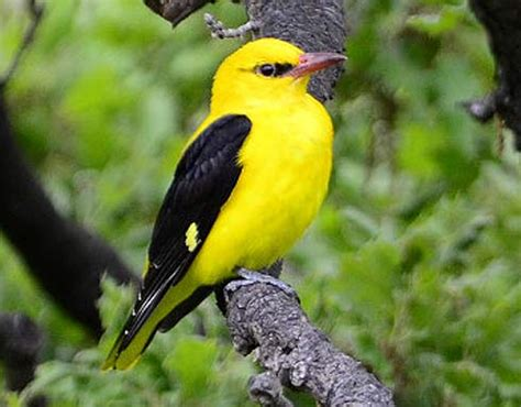 golden oriole bright yellow but shy animal pictures
