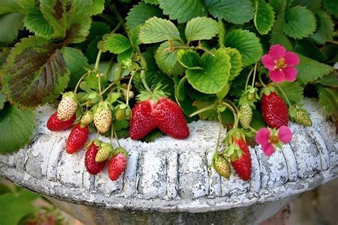 coltivare fragole in vaso come coltivare fragole in vaso pollicegreen