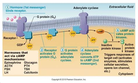 a protein activated by second messengers second messenger system