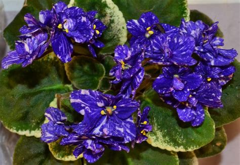 Bunga Artfcl Mini Violet 124 best images about violets on green miniature and the flowers
