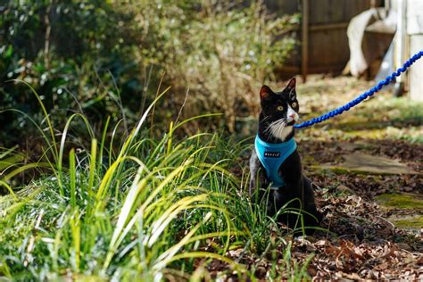 how to your to walk on a lead your cat to walk on a leash adventure cats