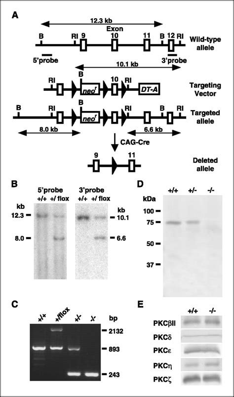 Midbass Genetic Cr 65 deficiency of protein kinase c遽 in mice results in