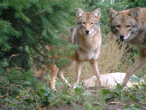 Why the eastern coyote should be a separate species: the ...