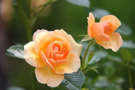 flowers in bloom orange rose flower in bloom during daytime 183 free stock photo