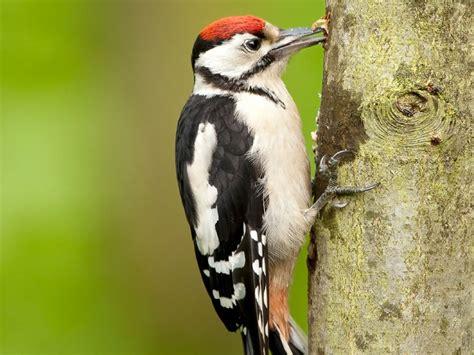 woodpecker wallpaper 1024x768 6636