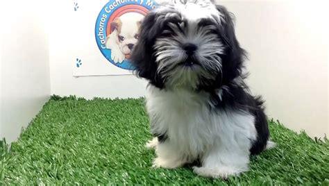 fotos de perros shih tzu cachorros razas de perros shih tzu breeds picture