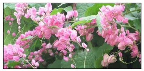 cadena de amor antigonon leptopus coral vine - Cadena De Amor Flower Wikipedia