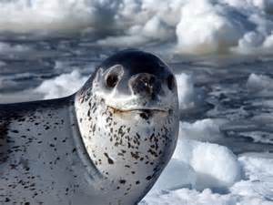 leopard seal the of animals