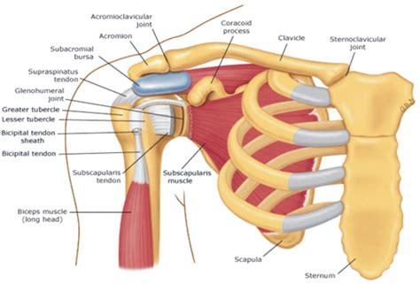 diagram of left shoulder diagram of left shoulder 28 images diagram of left