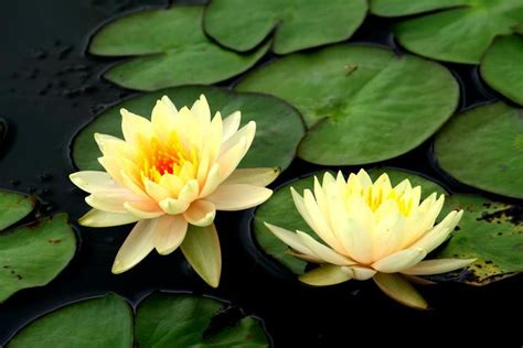yellow lotus nelumbo nucifera  seeds