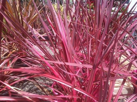 pink foliage plants cordyline banksii electric pink cordyline electric