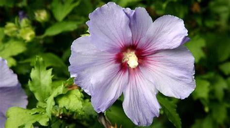 garten hibiskus schneiden die besten 25 hibiskus schneiden ideen auf